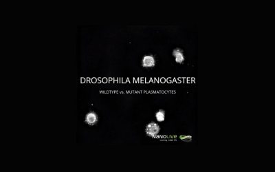 Wildtype vs. Mutant Plasmatocytes in Drosophila Melanogaster