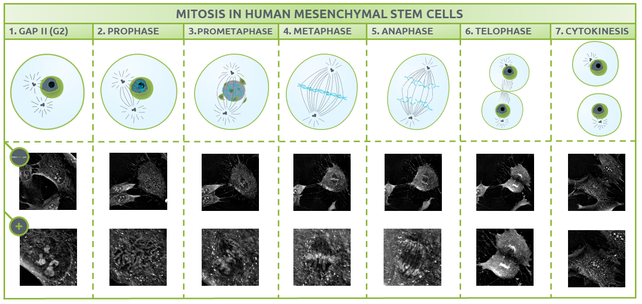 Nanolive live cell imaging microscope: Figure 1. The different phases of mitosis in Human Mesenchymal Stem Cells.