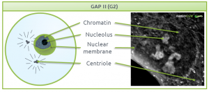 Nanolive live cell imaging microscope: Figure 3. Signature structures of the cell in G2 phase
