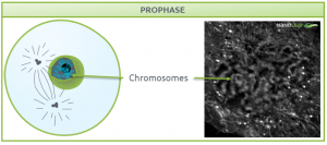 Nanolive live cell imaging microscope: Figure 4. Signature structures of the cell in prophase