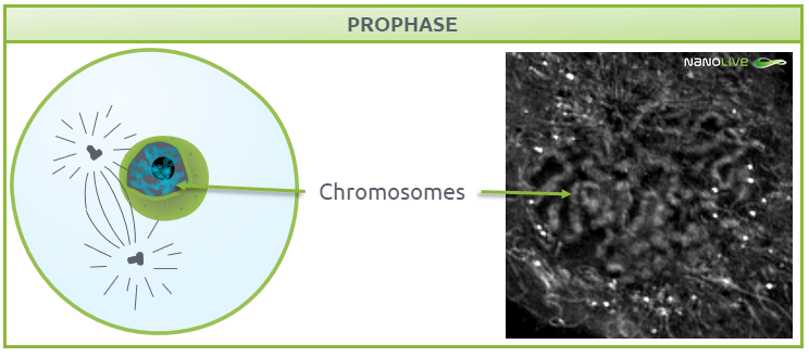 Phases of mitosis: Figure 4. Signature structures of the cell in prophase