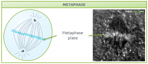 Nanolive live cell imaging microscope: Figure 6. Signature structures of the cell in metaphase