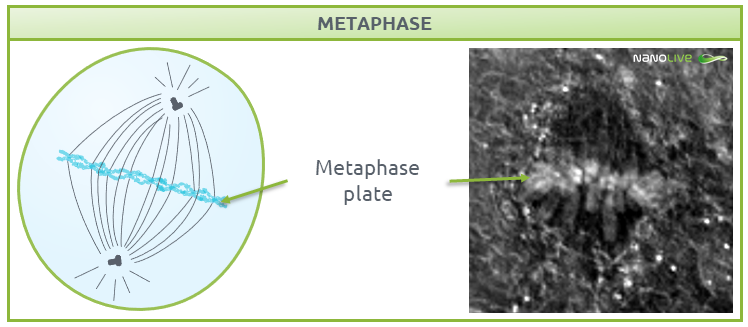 Phases of mitosis: Figure 6. Signature structures of the cell in metaphase