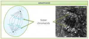 Nanolive live cell imaging microscope: Figure 7. Signature structures of the cell in anaphase