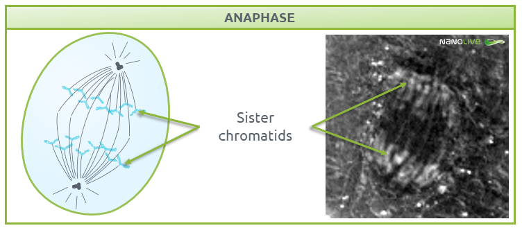 Phases of Mitosis: Figure 7. Signature structures of the cell in anaphase