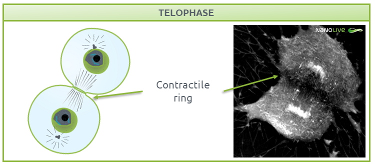 Phases of Mitosis: telophase