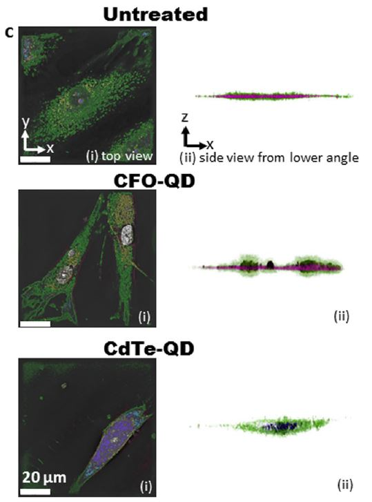 Three-dimensional holographic and tomographic microscopy images of synoviocytes left untreated or treated with CFO-QDs or CdTe-QDs.