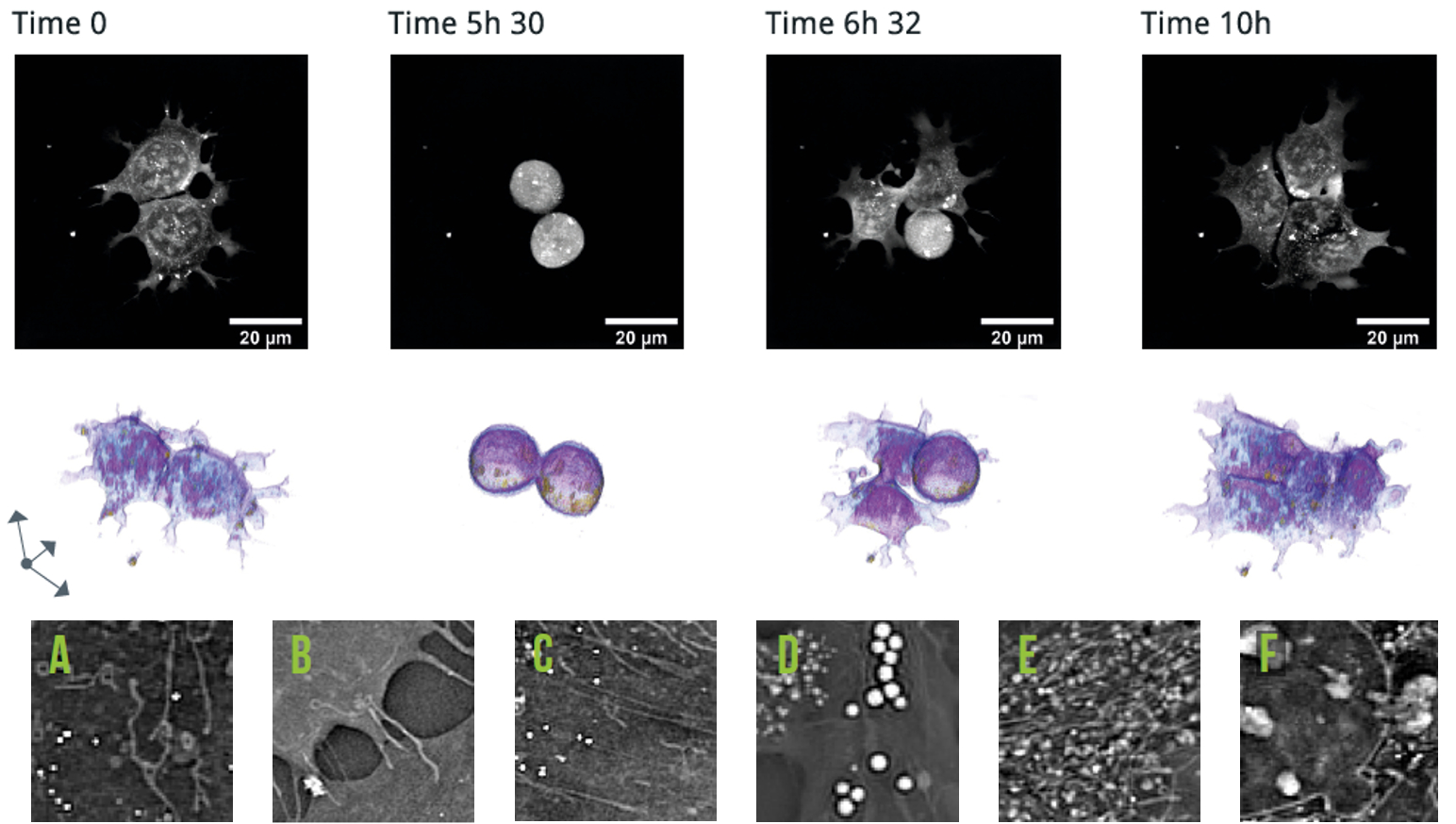 Stem Cells Time Lapse and cell organelles a-f.png