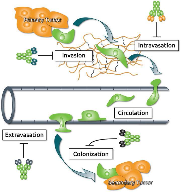 Steps of metastasis