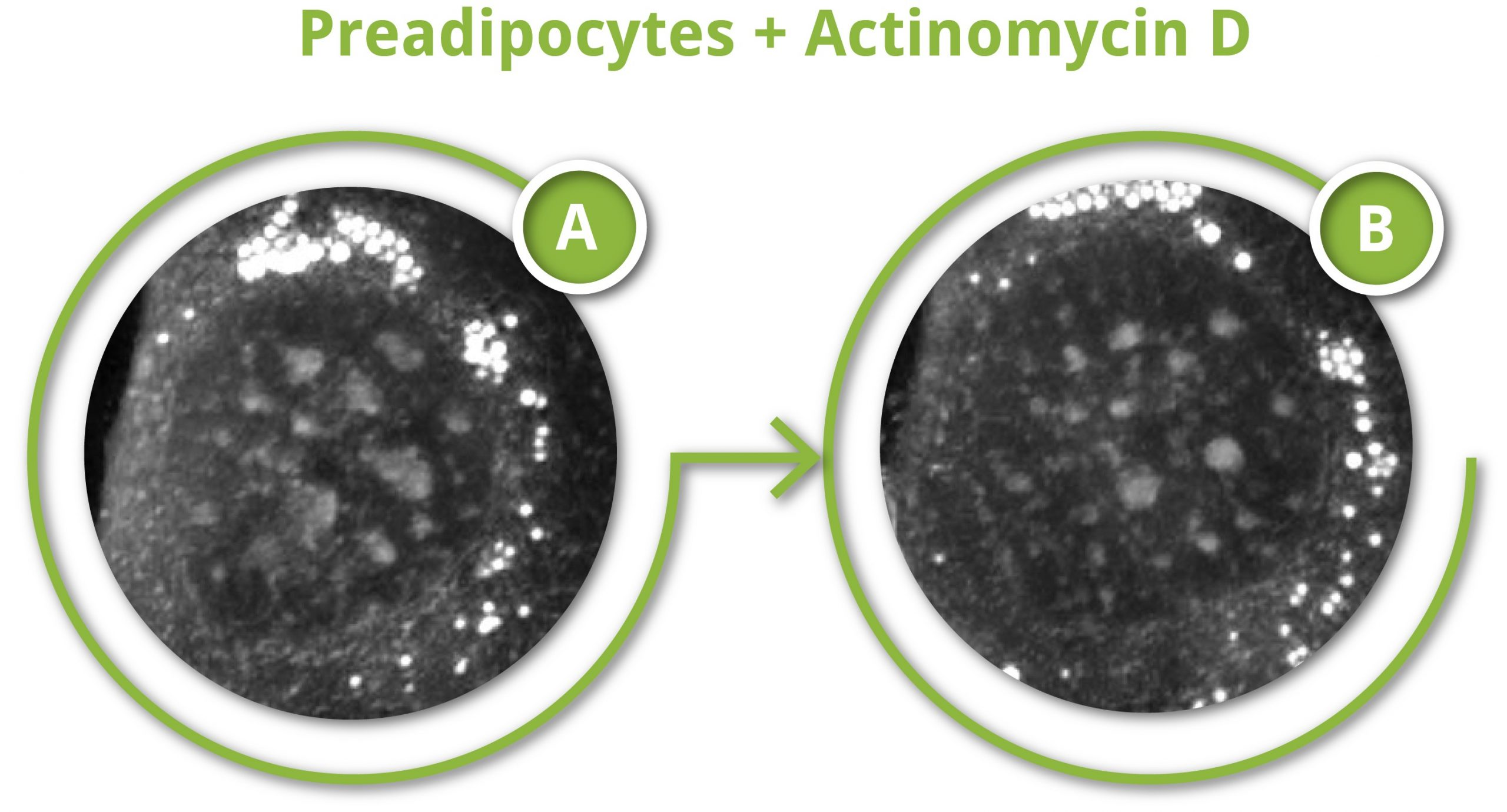 Infographic sequence effects Actinomycin D
